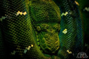 Emerald Tree Boa by Anrico