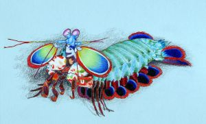 Mantis Shrimp Collab by M-Everham