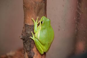 Tree Frog I by LDFranklin