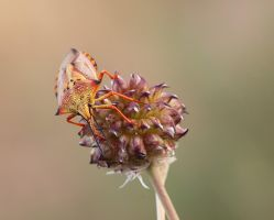 Morning shield bug by buleria