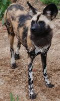 African Hunting Dog. by Rabid-Coot