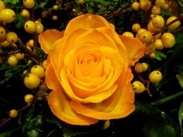 Roses Are Yellow by Phoenix-Gurl