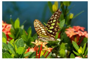 Butterfly 108 (Tailed Jay) by kiew1