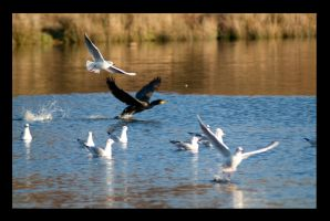 Great Cormorant Taking Off by metronewman