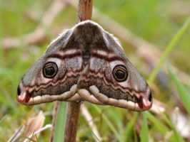 Emperor Moth (Saturnia pavonia) by observingnature