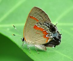 ....Red-banded Hairstreak..,, by duggiehoo