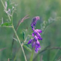 Vicia Cracca by Enalla
