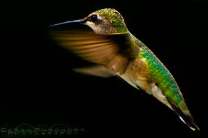 Humming Bird by Sarah--Lynne