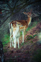Mom and Fawn by TammyPhotography