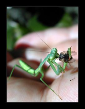 A Mantis' Meal by wolfskin