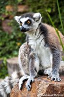 Ring-tailed Lemur IV by amrodel