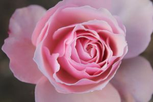 Beautiful Rose by brianlechthaler