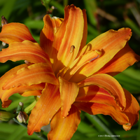 Daylily by Mogrianne