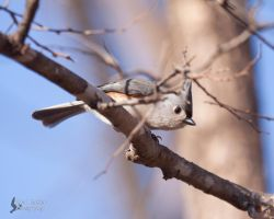 Tufted Titmouse 2 by EdgedFeather