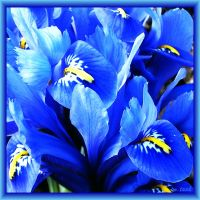 Blue Little Lillies by Villa-Chinchilla