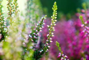 Little pretty heather by BlueColoursOfNature