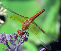 Orange Dragonfly by MacroMagnificent