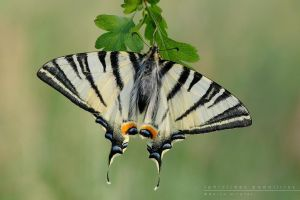 Iphiclides podalirius by Mantide