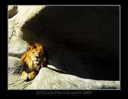 Lion by edplozaiphotography