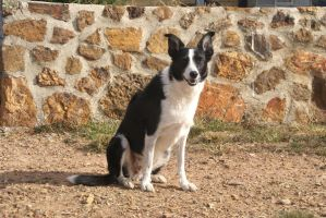 Border Collie Stock - Sitting Looking Towards by Azaroe