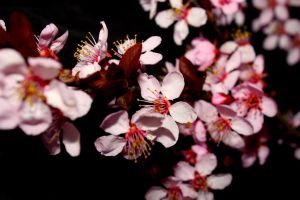 Cherry Blossom Wallpaper by designerfied