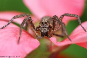 Wolf spider 3 by RichardConstantinoff