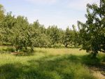 Peach  Orchard Stock 2 by FairieGoodMother