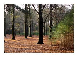 Beech trees in late November by jchanders