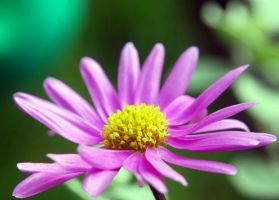 Pink petal daisy macro by Mark-Allison