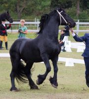 STOCK - Friesian Show 2012-131 by fillyrox