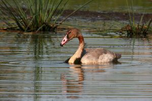 Cygnet by olearysfunphotos