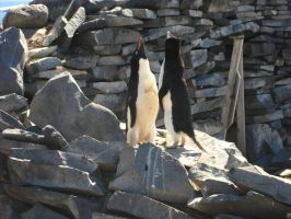 Trumpeting penguins by Wildfire47