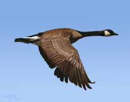 Canada Goose by Ankyloce