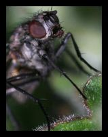 A Fly Head by Insect-Lovers-Club
