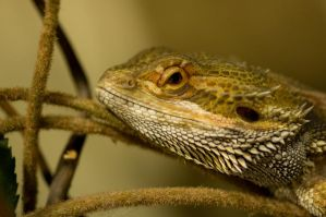 Bearded Dragon Stock 6 by FairieGoodMother