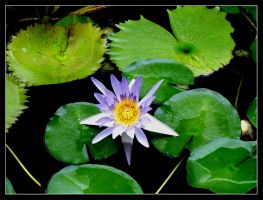 Water Lily 2 by Quok1mb0