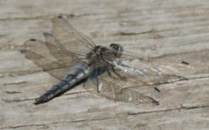 Black-tailed Skimmer by moonhare77