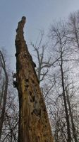 Tall dead tree by lucium55