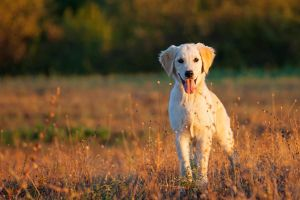 Golden retriver by rile14