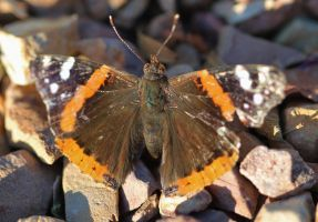 Red Admiral by Monkeystyle3000