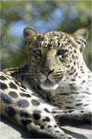 African Leopard 2 NZ10908 by hoboinaschoolbus