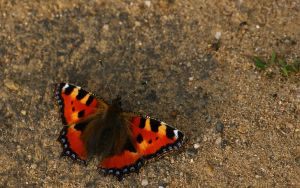 Small Tortoiseshell by webcruiser