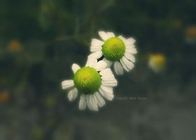 Chamomile by nick72033