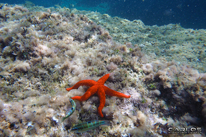 Red Starfish by Solrac1993