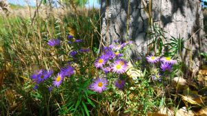 Asters In Shade by PamplemousseCeil