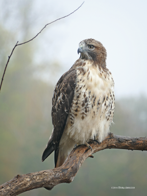 Red Tailed Hawk Portait 2: Intimate Autumn by Mogrianne