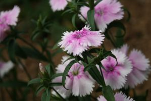 Pink and White.. by bellajynx