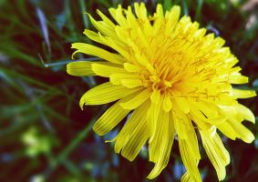 dandelion closeup by DeathChronic