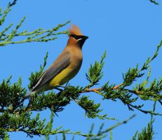 Cedar Waxwing Lookout by natureguy