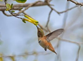 Hummingbird in flight drinking nectar by yo13dawg